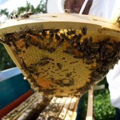 Bienen 159