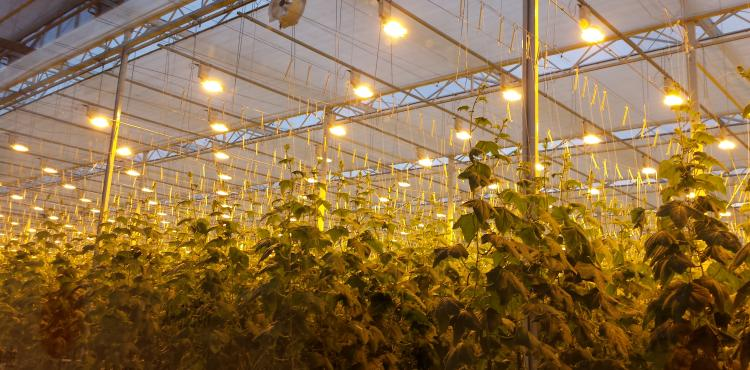 Hortilux grow light shines down on a total of 15ha of cucumbers at Botanica Russia.