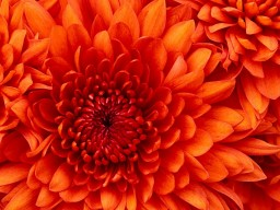 Chrysanthemum.jpg