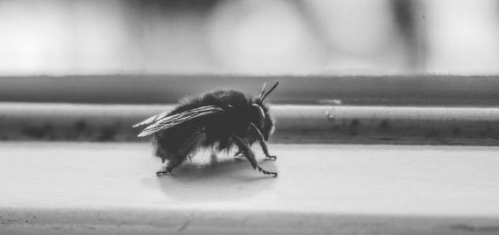 bumblebee haibun