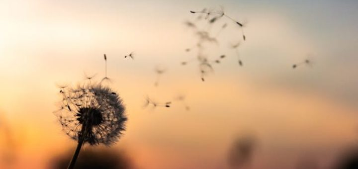 dandelion seeds flying in the sunet