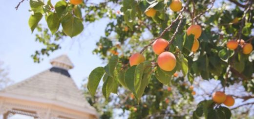 peach tree with ripe fruit near a gazebo