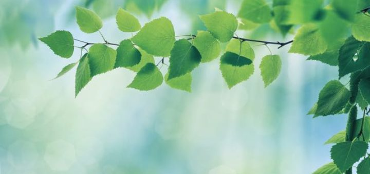 green leaves in a tree in spring