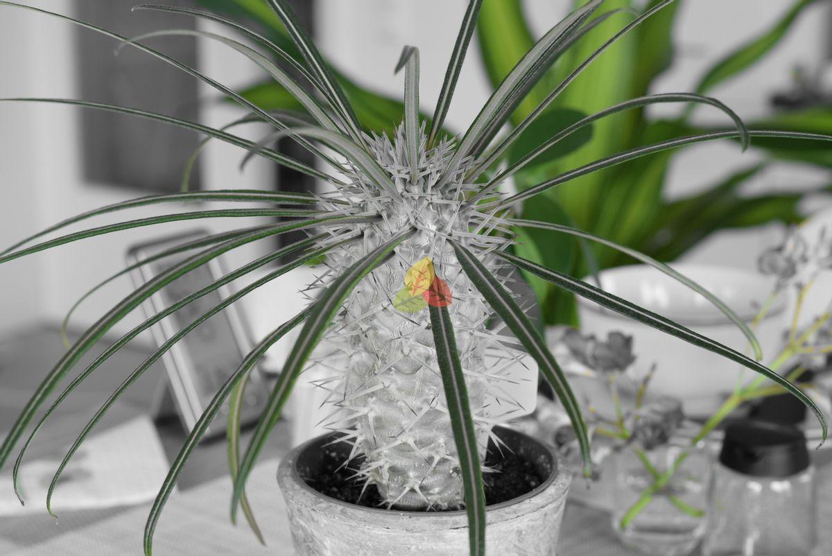 Pachypodium Geayi - Nursery bought, ~3 years old, ~15cm diameter