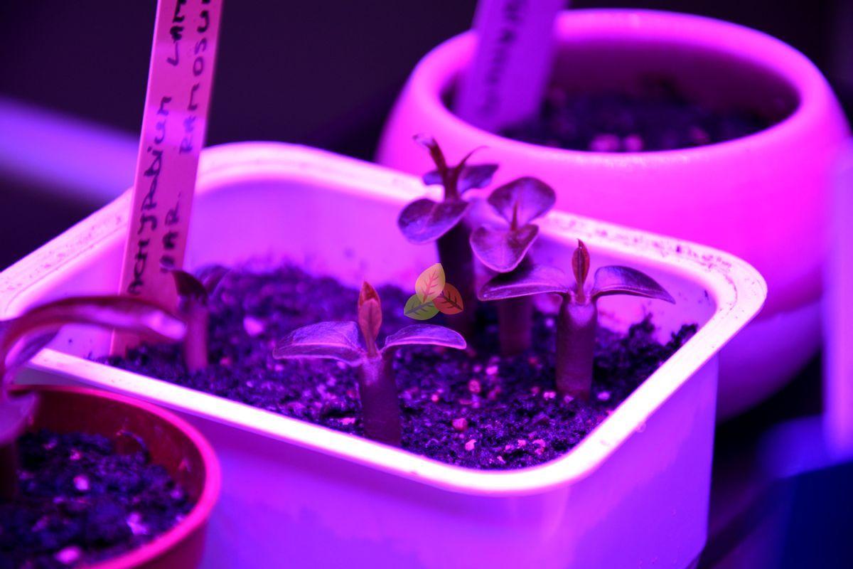 Pachypodium lamerei ssp. fiherense, seedlings, May 2019