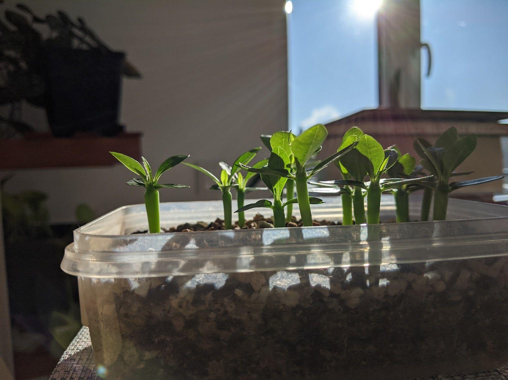 Pachypodium ambongense seedlings