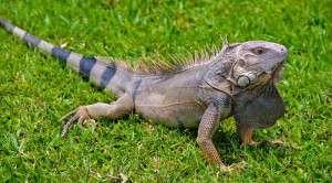 Aruba Lizards - Indcen Resora