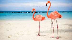 Aruba Flamingos - Indcen Resor