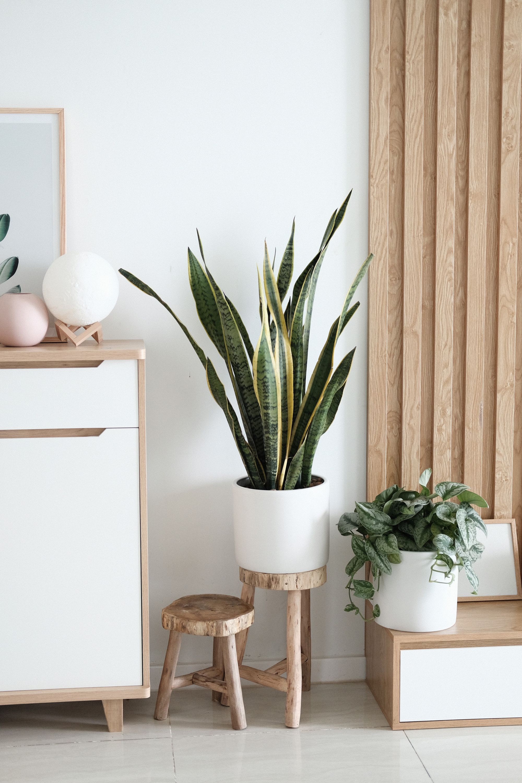 planten stekken sanseveria