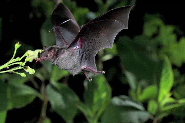 Chauve-souris butinant du nectar. © Ralph Simon