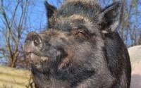 vildsvin-boar-284685