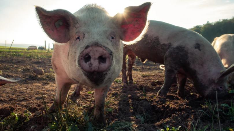 Huawei kaster sig over svineopdræt med fokus på ansigtsgenkendelse