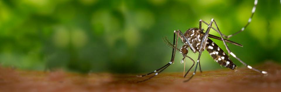 Mosquit tigre (Aedes Albopictus)