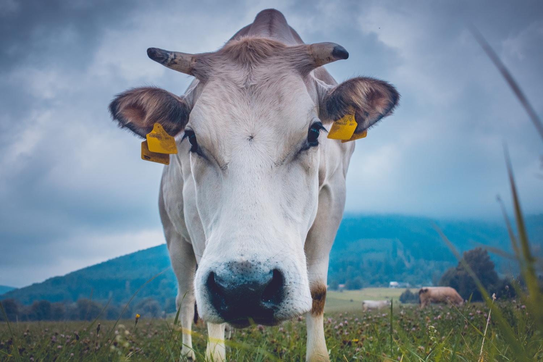 Nicht alle Tags tun so weh wie die für Kühe. Symbolbild. Foto: Unsplash/Marek Szturc