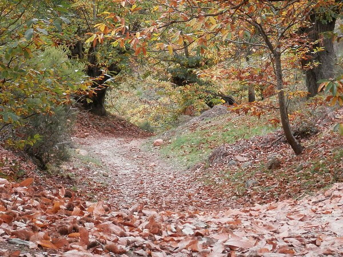 Bosc de castanyers a Ourense   Joaquín Matos Morales (CC)