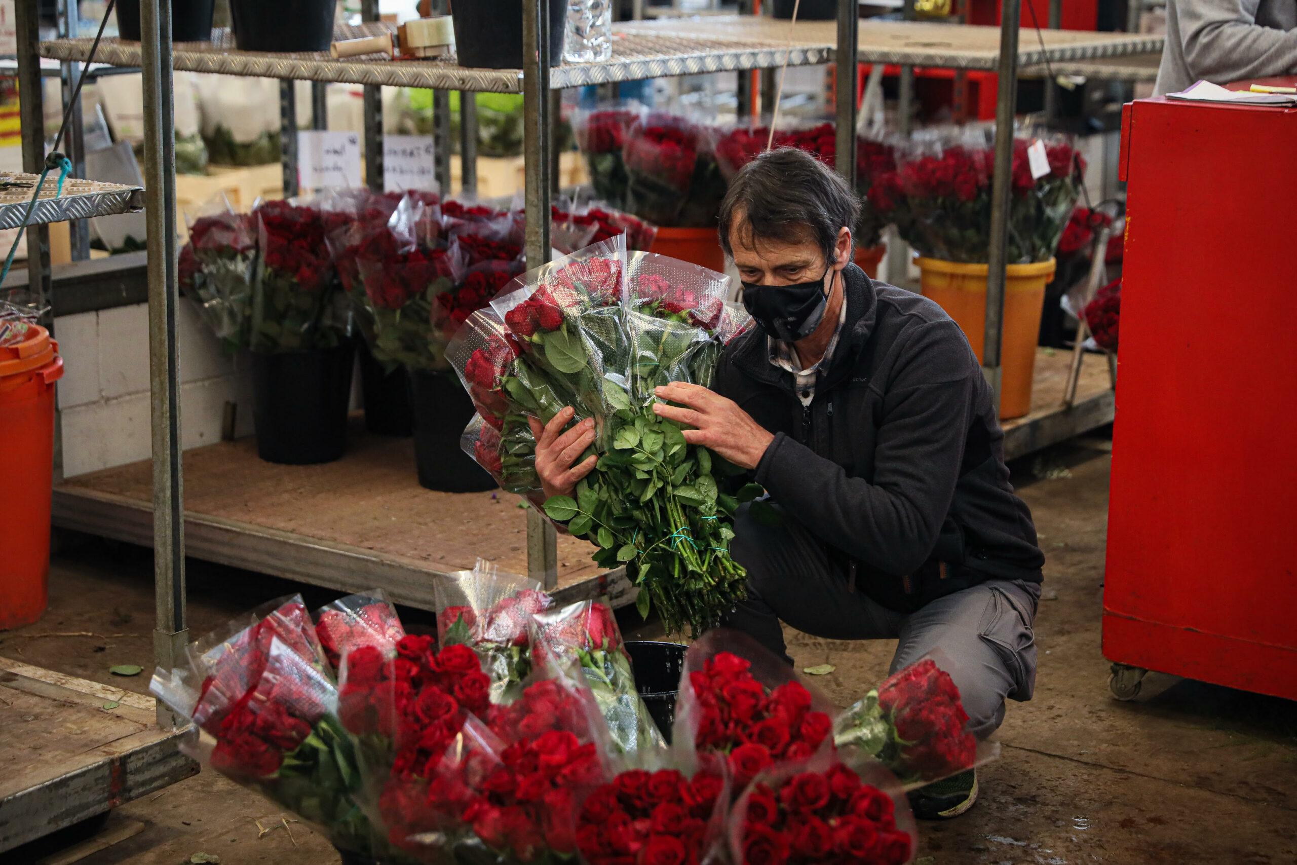 Joan Pons, un dels dos productors de roses que sobreviuen a Catalunya JORDI BORRÀS