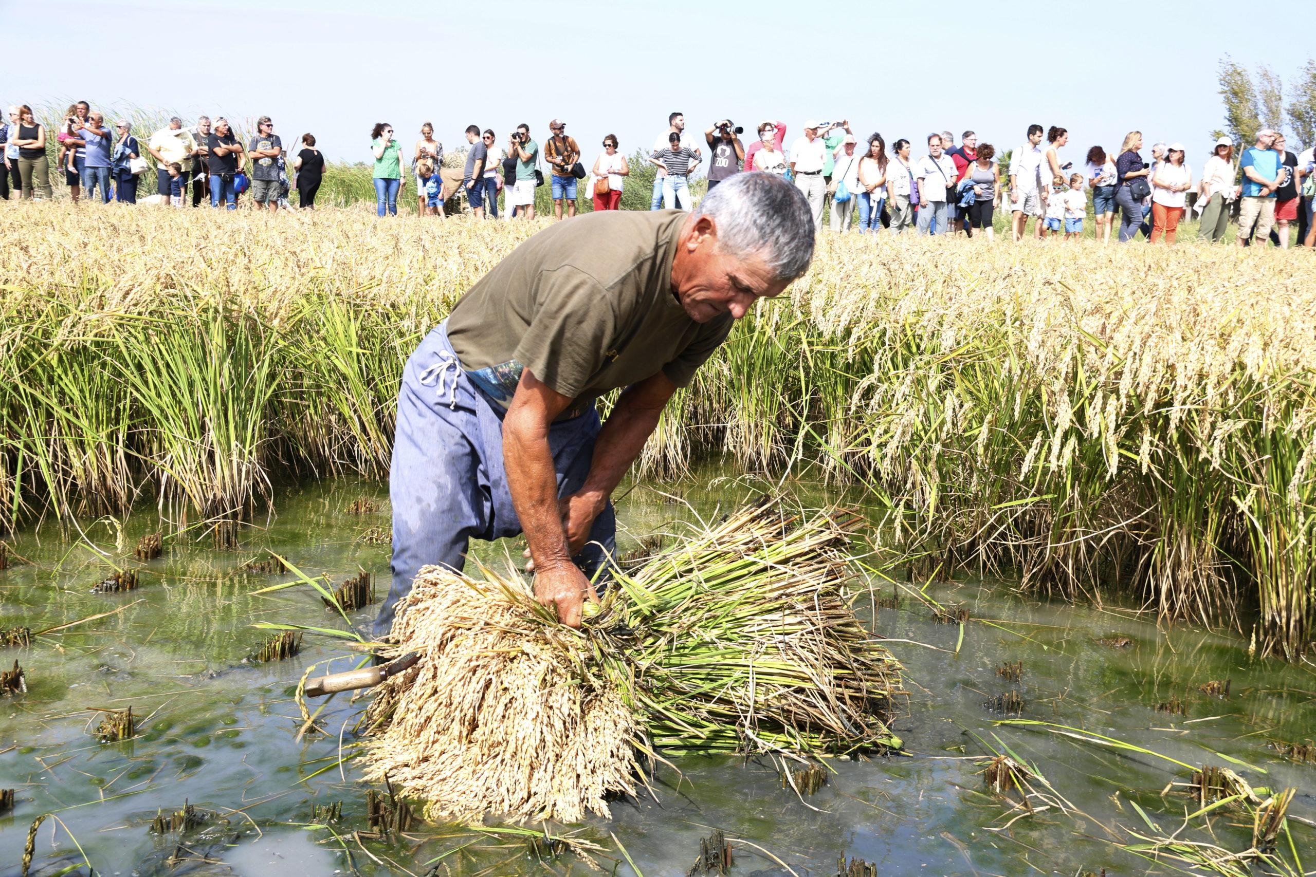 Un home segant arròs a Deltebre | ACN