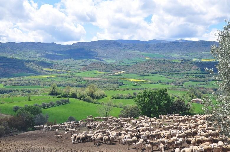 Un ramat d'ovelles pasturant | Departament d'Agricultura