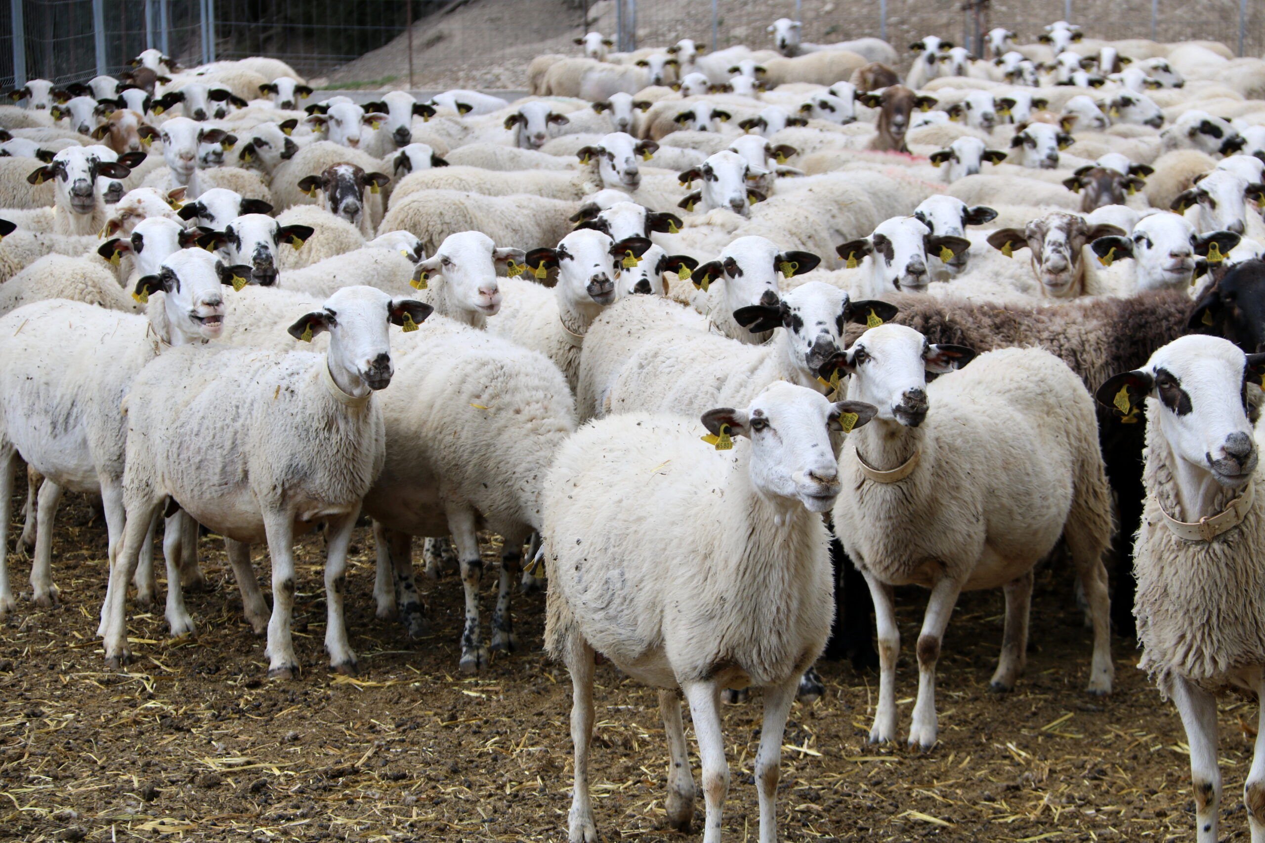 Un ramat d'ovelles d'una explotació ramadera de Sant Esteve de la Sarga, al Pallars Jussà | ACN