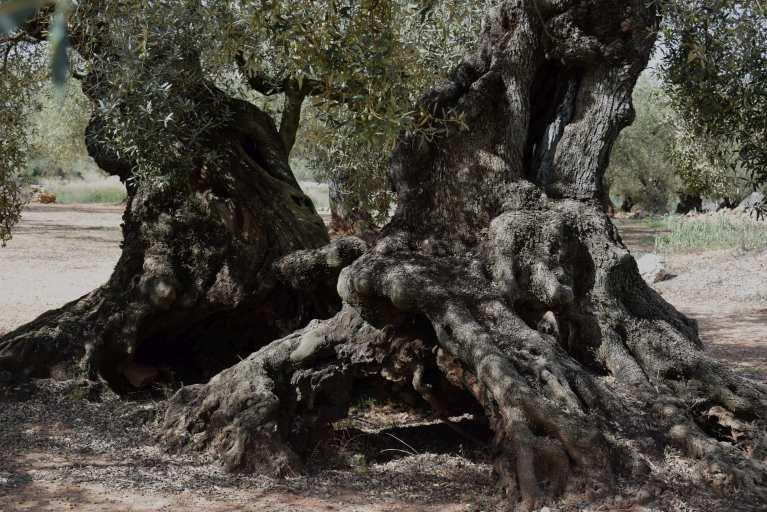Oliveres de les que s'extreuen els olis Lacrima Olea