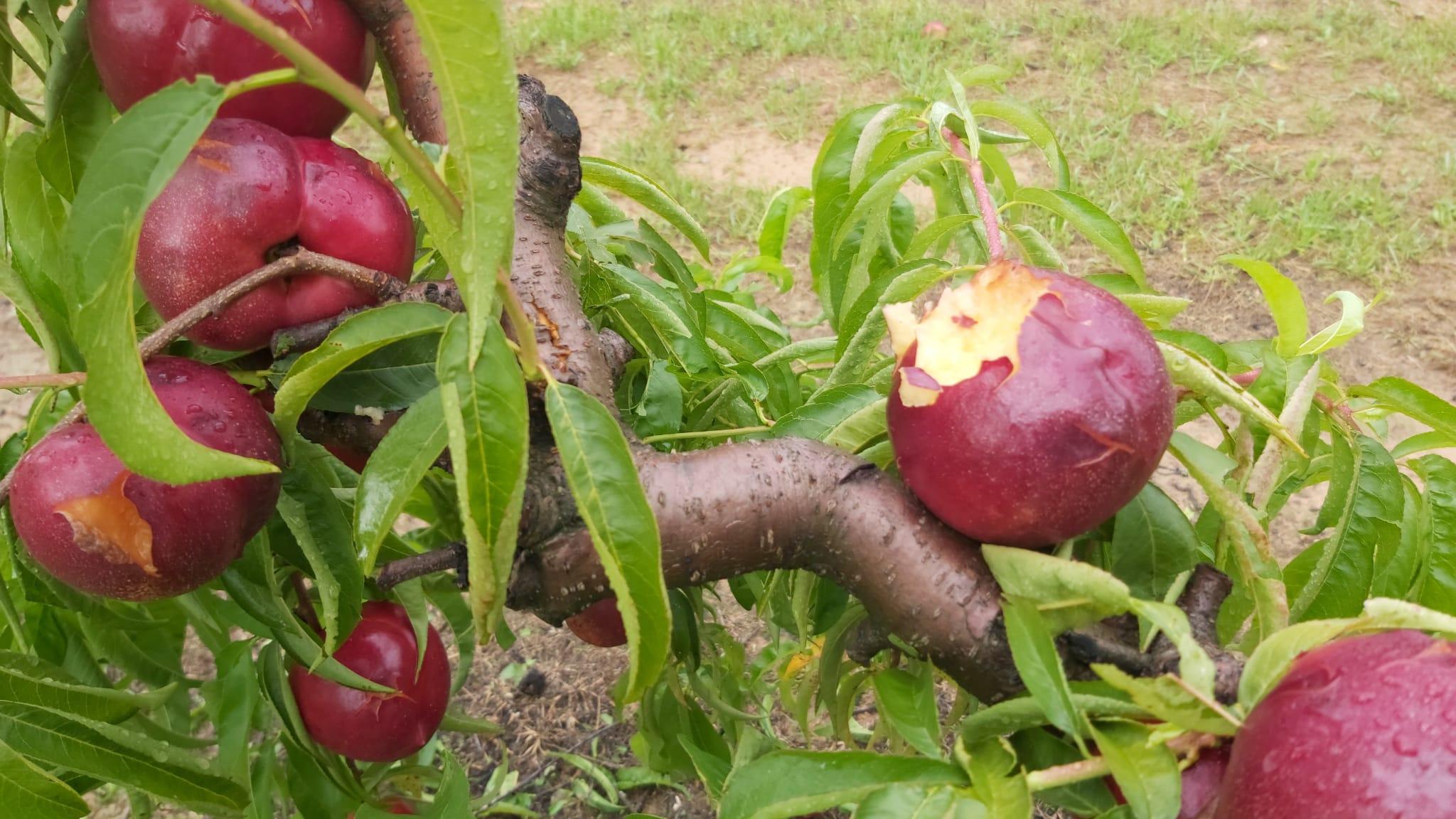 Nectarines d'una finca d'Alcarràs malmeses per la pedregada | ACN