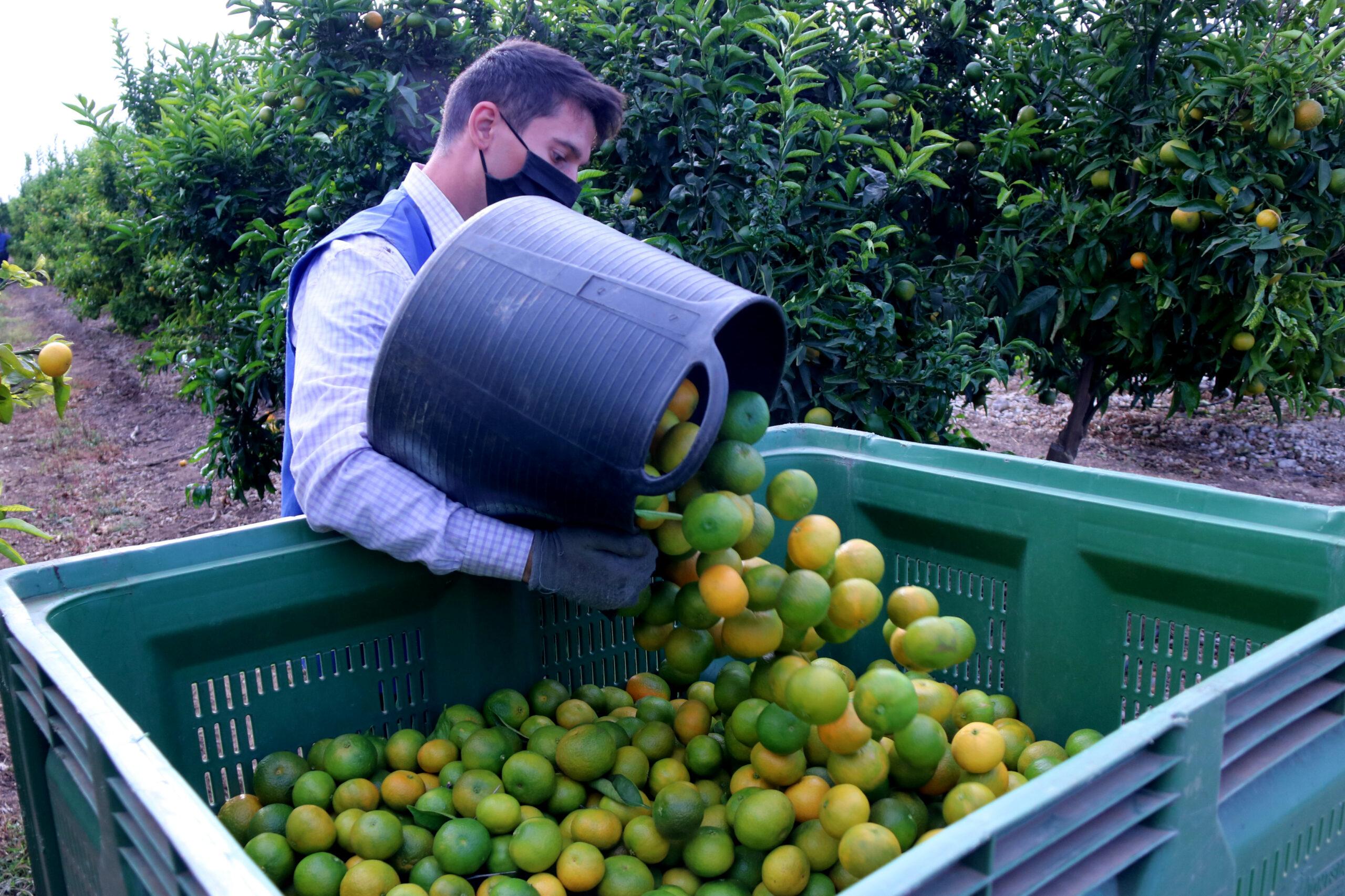 Un collidor de mandarines buidant un dels basquets en una caixa | ACN