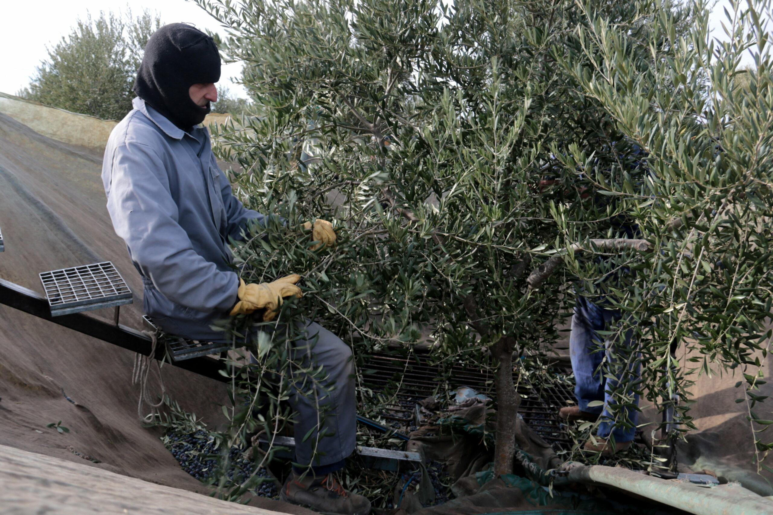 Uns pagesos collint olives en una finca de Maials | ACN