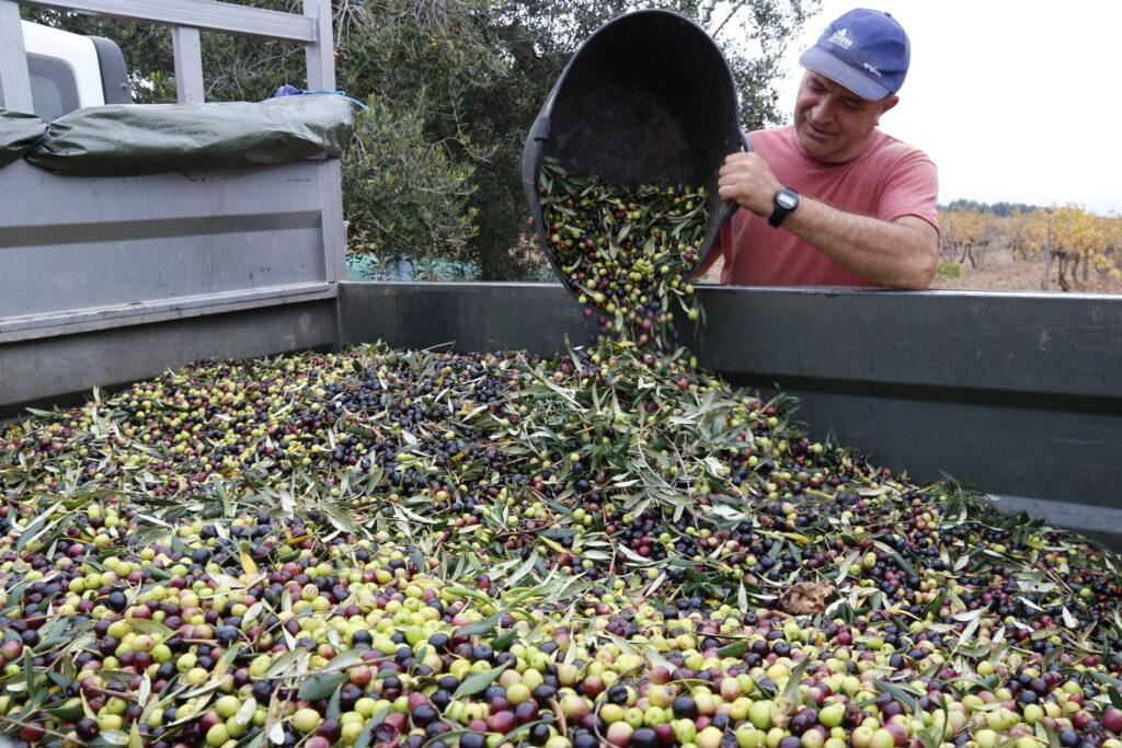 Un pagès abocant olives al remolc en una finca a Valls | ACN