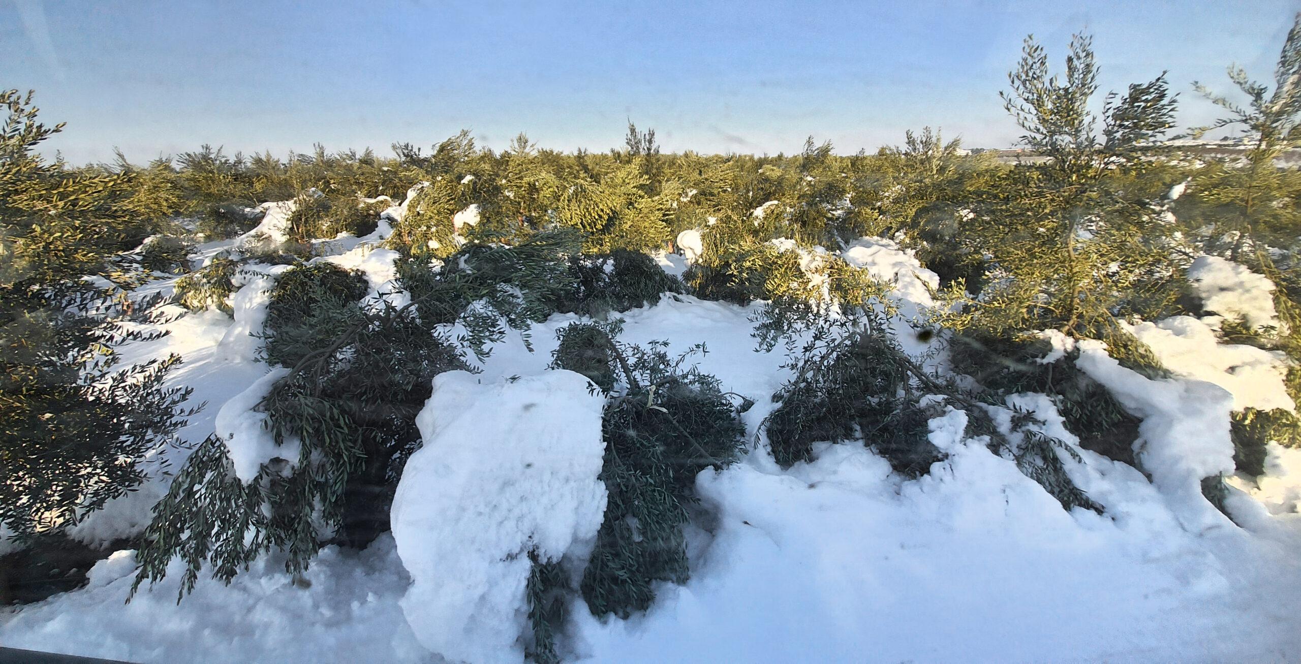 Oliveres malmeses per la nevada a la DOP Les Garrigues | DOP Les Garrigues