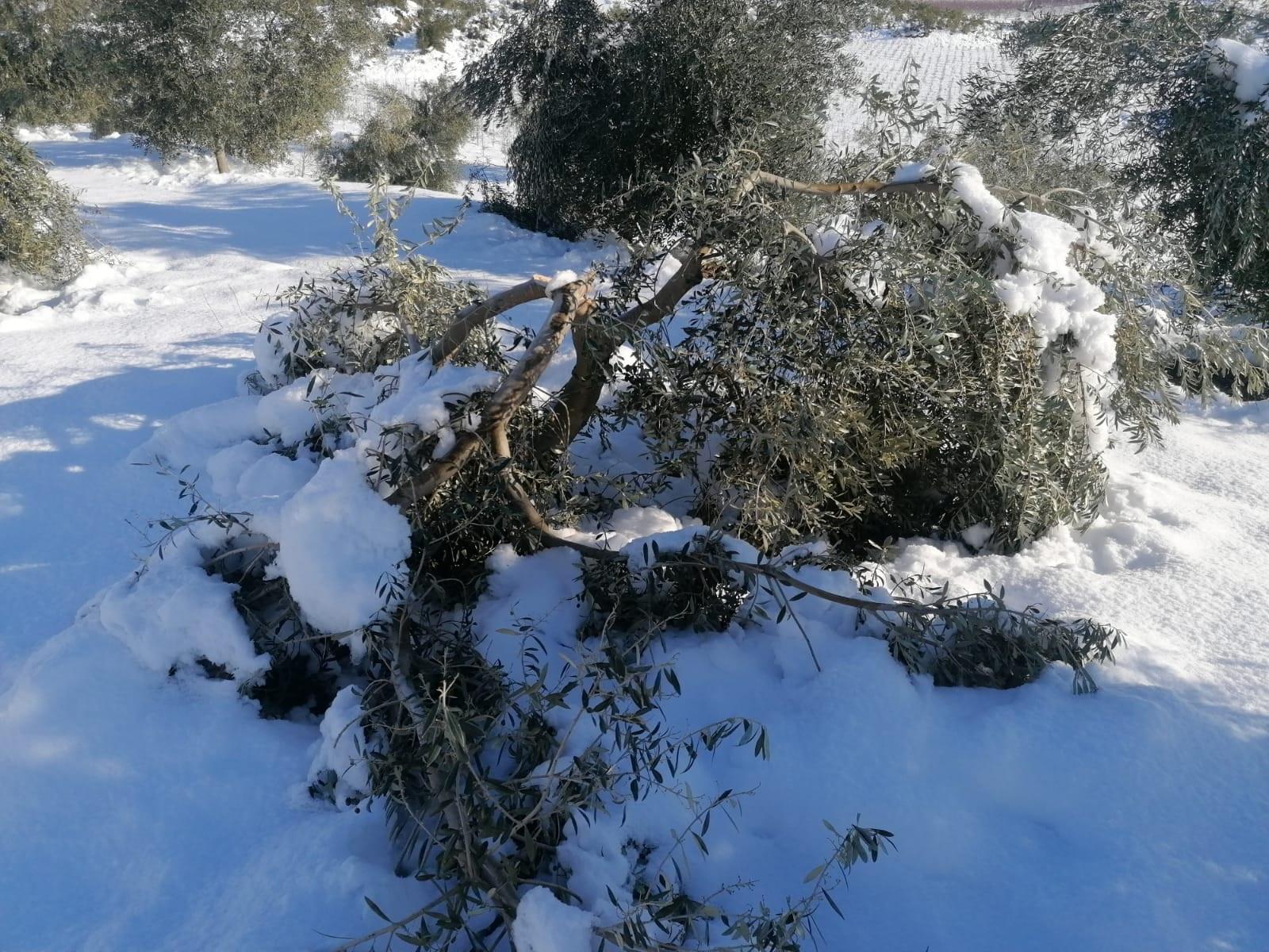 Una branca d'olivera de la DOP Siurana, trencada per la nevada del temporal Filomena | ACN