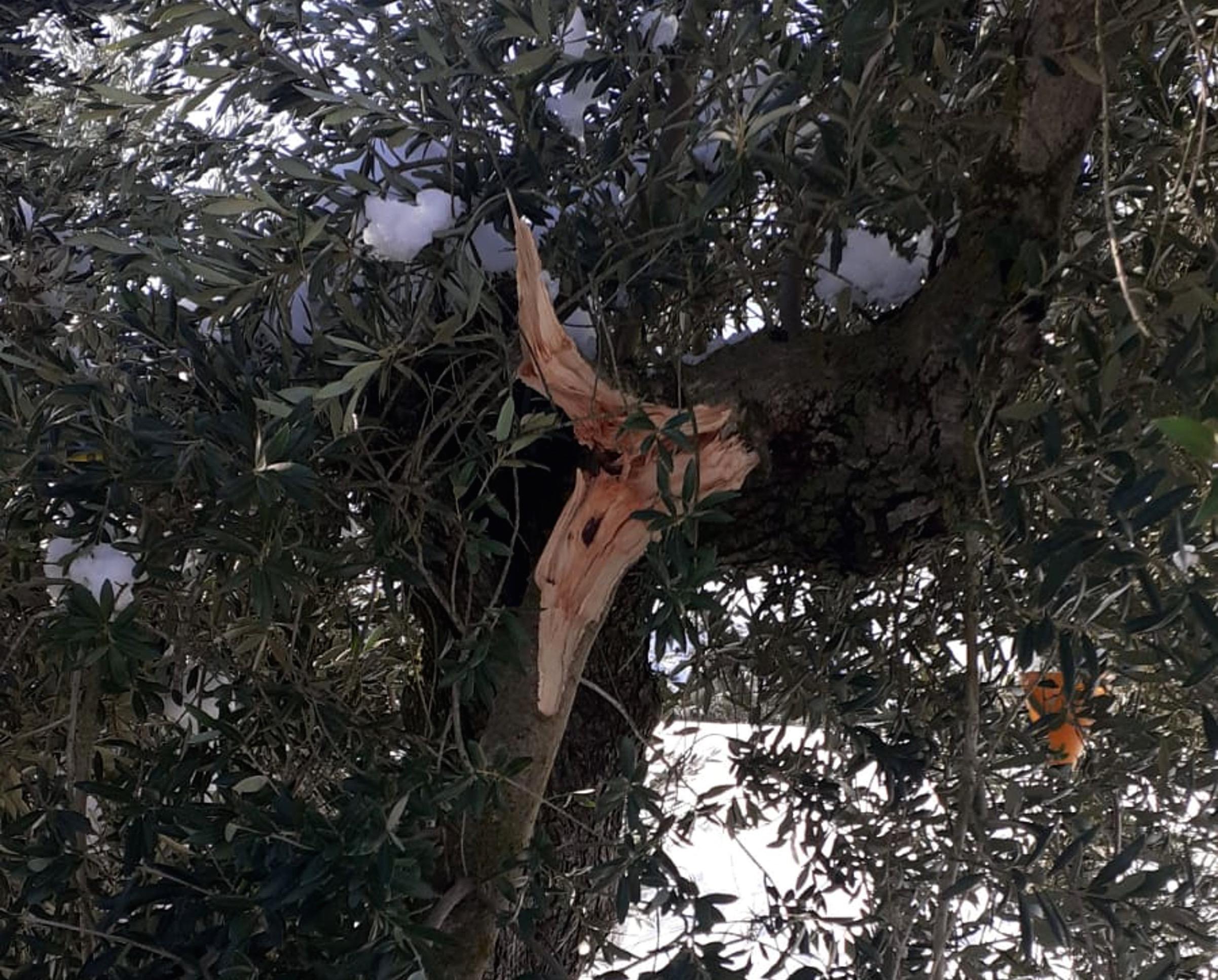 Una branca d'olivera trencada a la zona del Segrià Sec | ACN