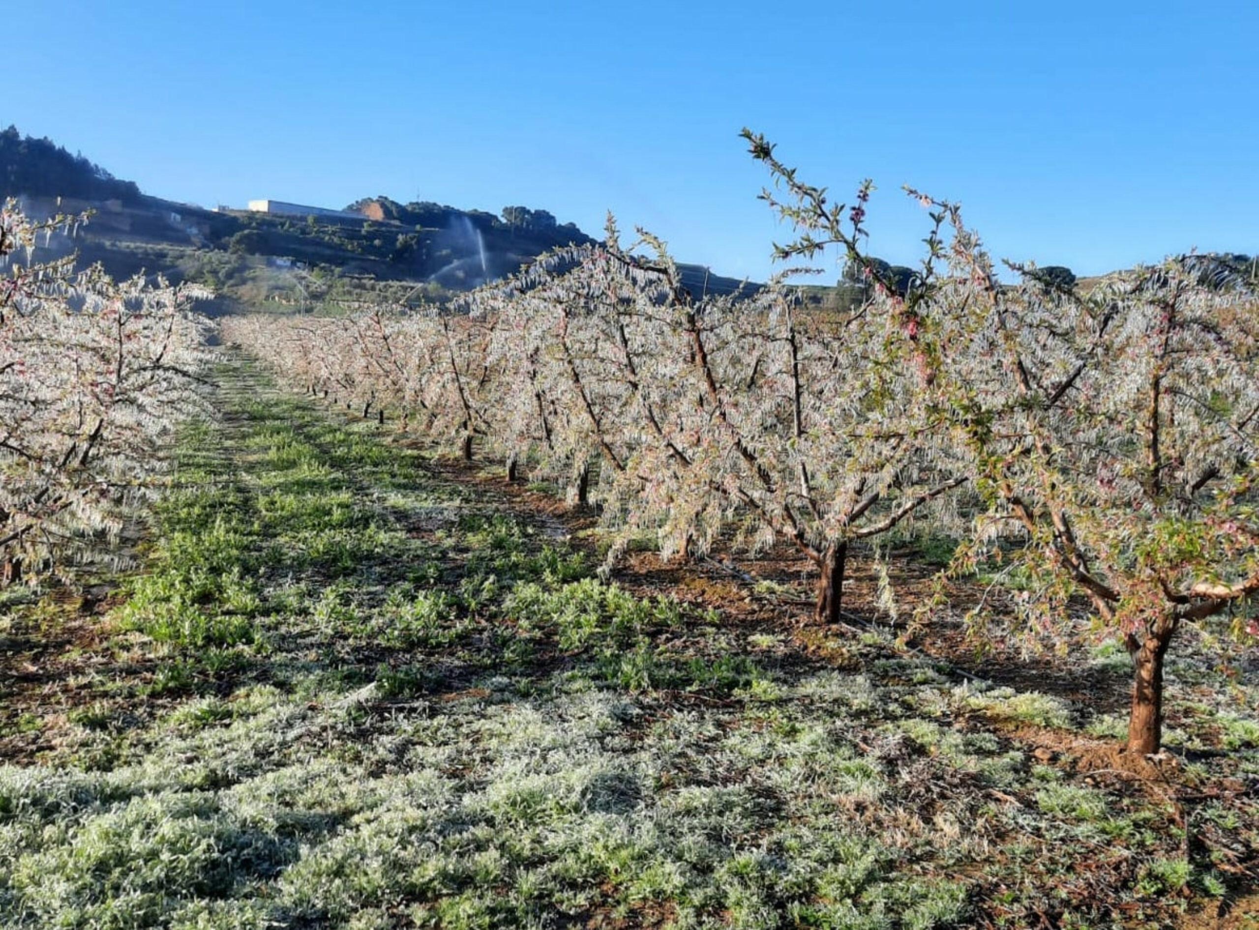 Una explotació de fruita de pinyol d'Almenar coberta amb una làmina d'aigua gelada per evitar que es geli la flor | ACN