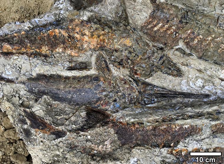 Fòssils de peixos morts per l'impacte meteòric que va acabar amb els dinosaures   Robert DePalma