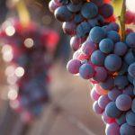 Tutte le proprietà dell'uva