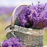 Lavanda: un rimedio contro il mal di testa   Pazienti.it