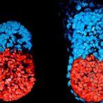 Embrione-150x150 | Pazienti.it
