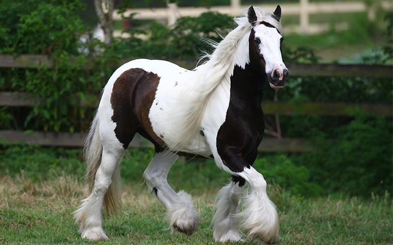 tinker paard verzorging