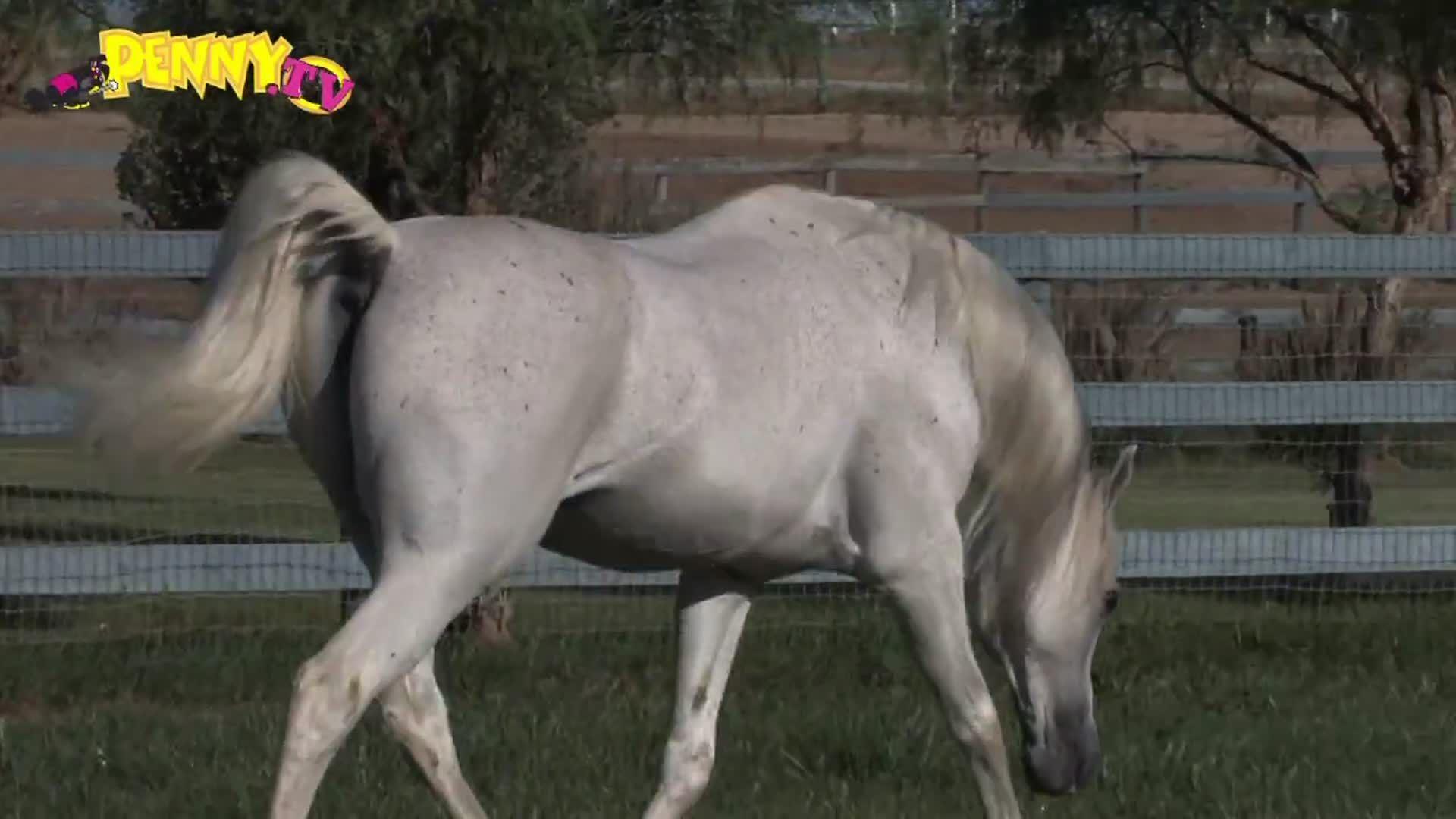 Paardenras De Arabier Penny