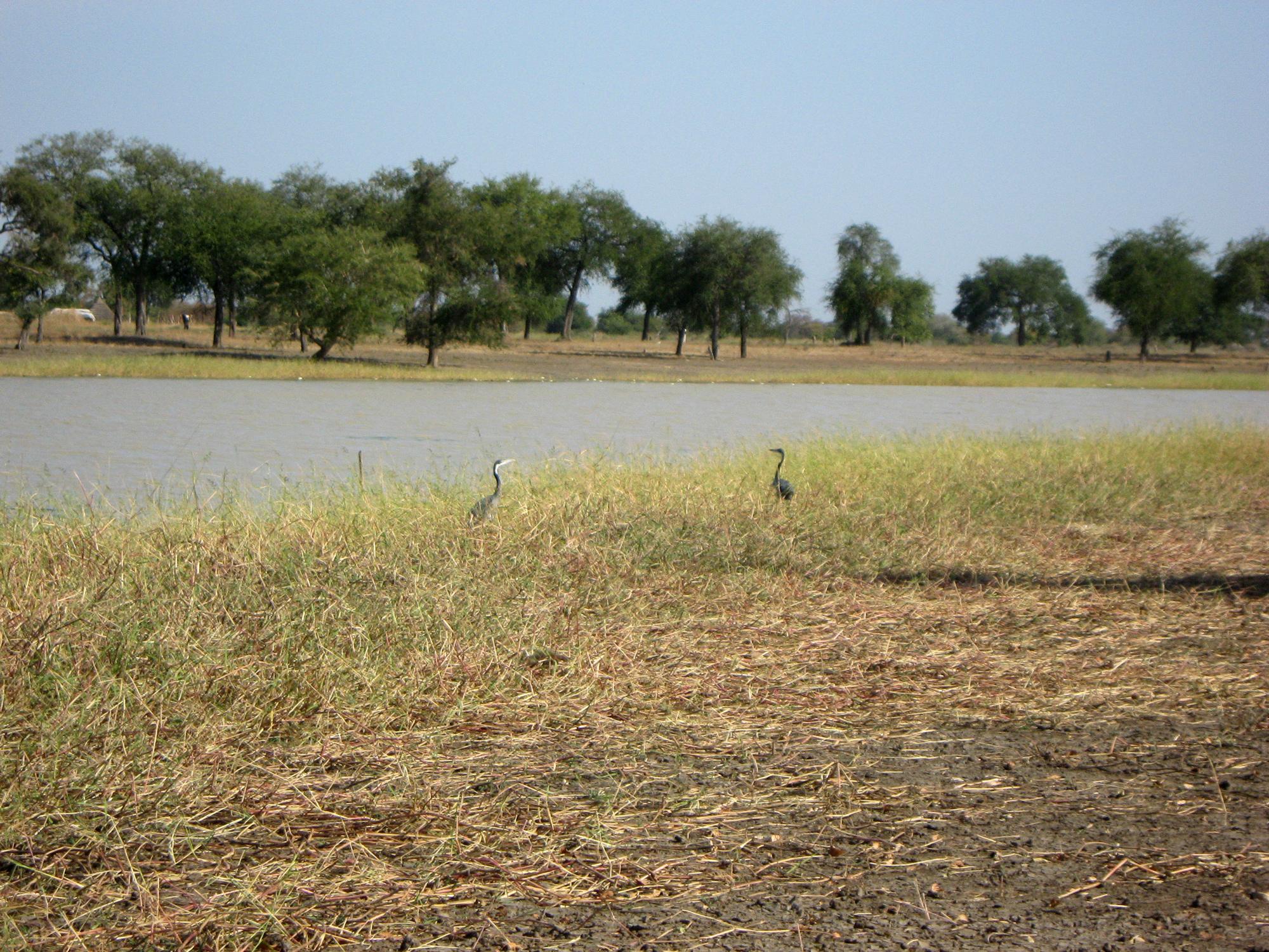 Păsări lângă un ochi de apă, înainte de anotimpul secetos.