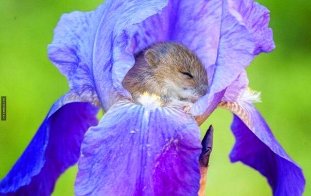 ghiro-addormentato-in-un-fiore