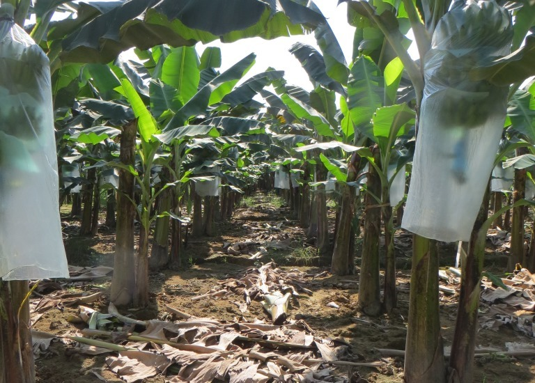 Auf der Bananenplantage in Ecuador.