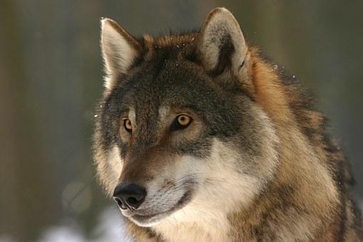 Das Alpha-Tier