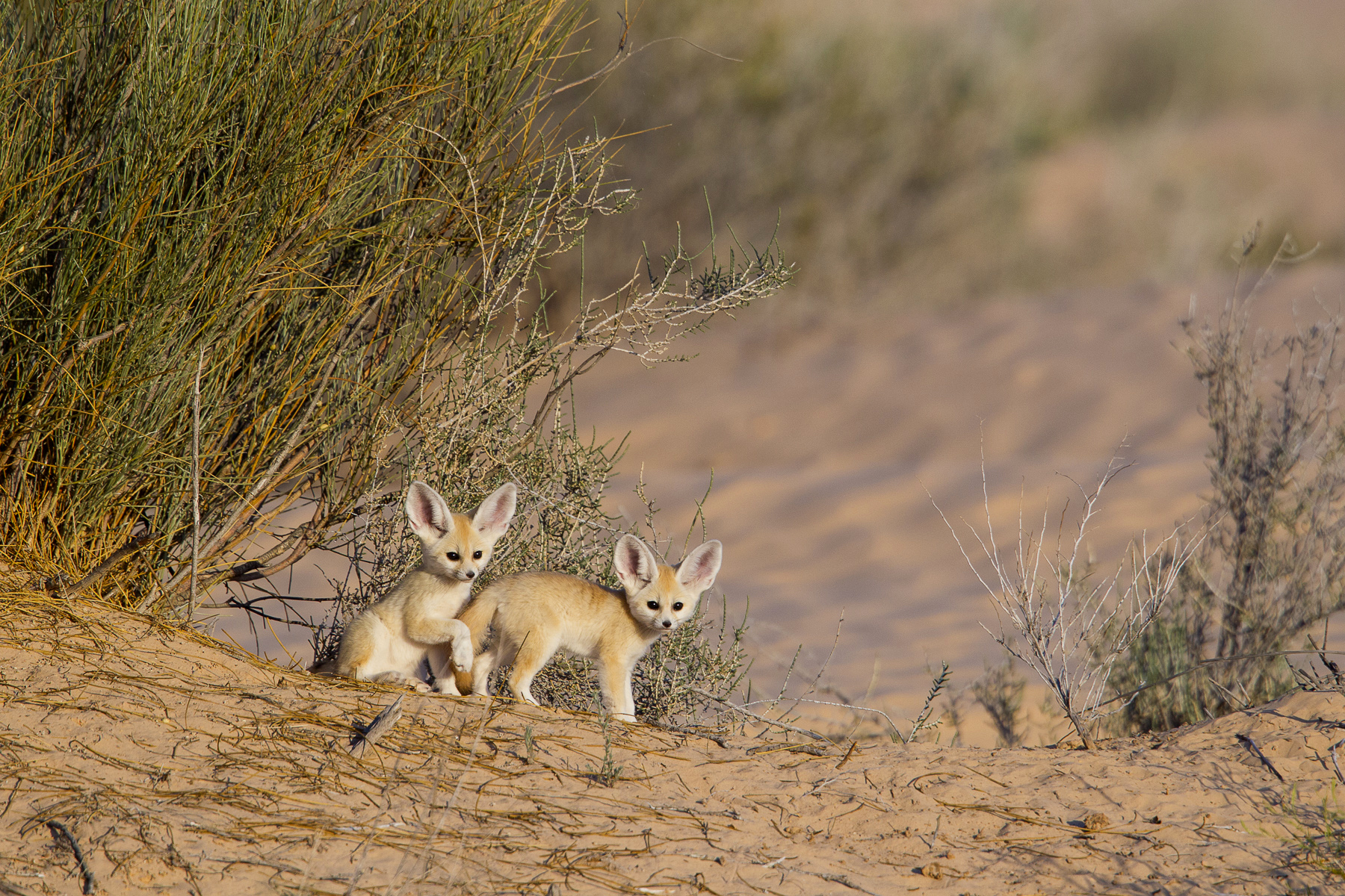 Fennec fox (Vulpes zerda) pups playing near den entrance in the Grand Erg Oriental desert. Sahara, Southern Tunisia. May 2011