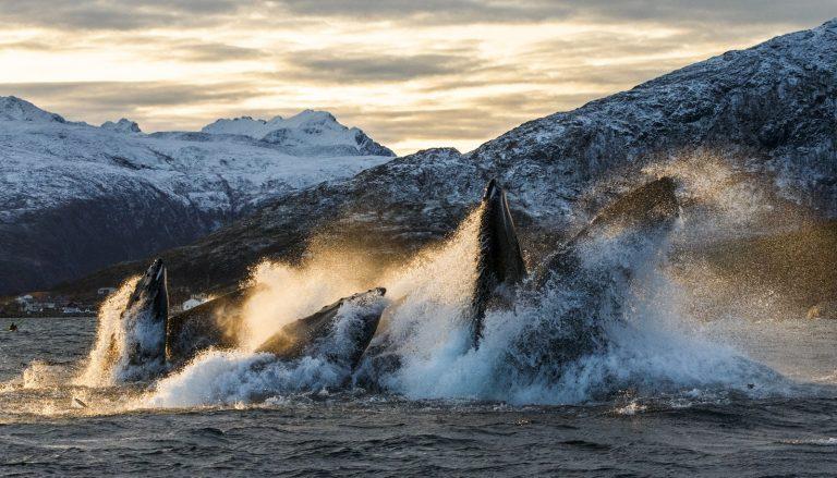 Riant feestmaal voor orka's en bultruggen in Noorwegen