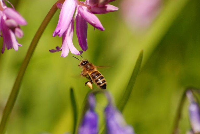 36.000 bijen geteld tijdens Nationale Bijentelling
