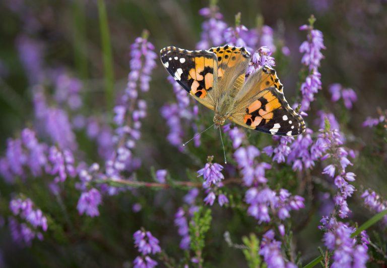 Vlindertrek: de distelvlinder maakt een tocht van 4.000 km