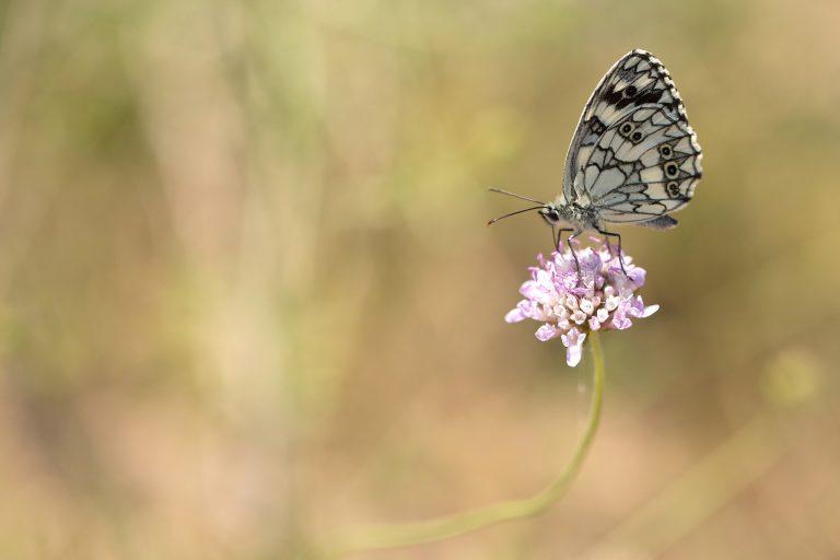 Wat een vraag: welke vlinder is dit?
