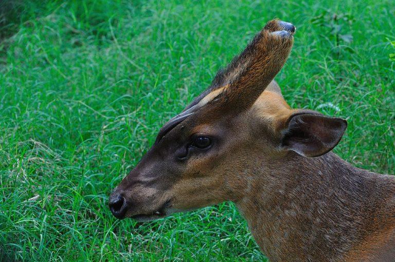 Wasbeer en andere invasieve exoten