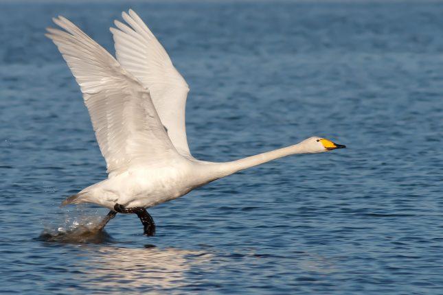 Wilde zwaan vliegt over het water