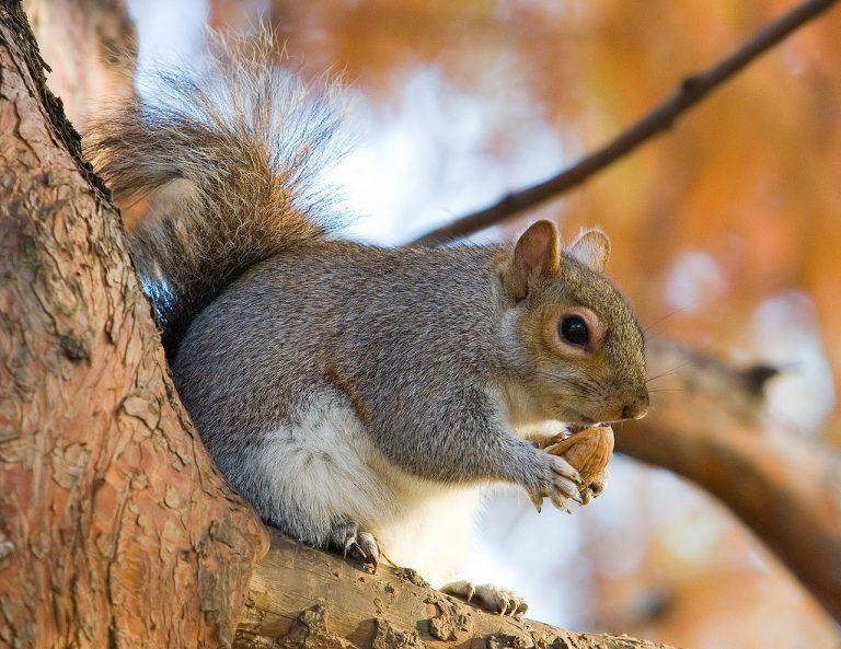 De jacht op de grijze eekhoorn